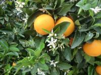 Orange Blossom Season